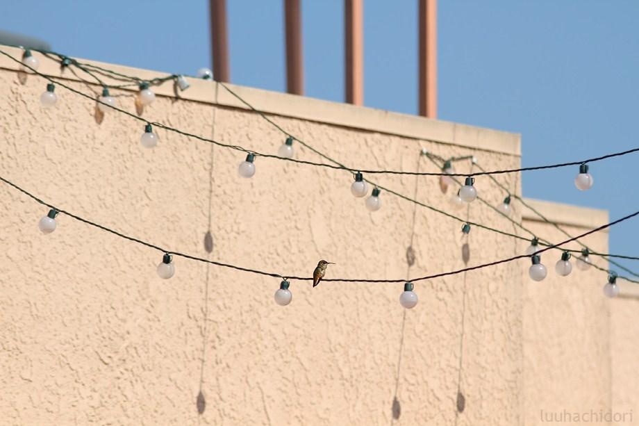 Allen's Hummingbird 052912