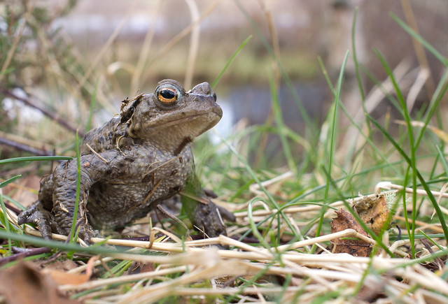 common toad 3