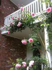 Climbing Roses at Long Hill by randubnick