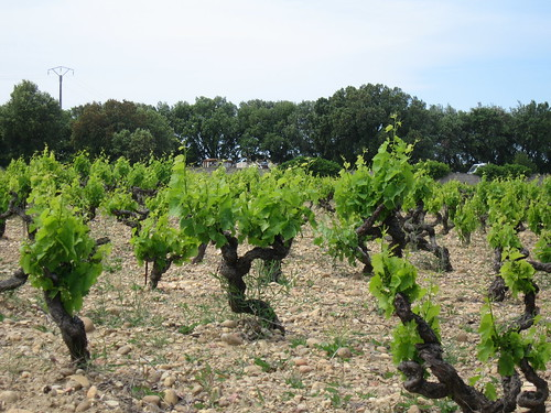 Vines near Bastide des Princes