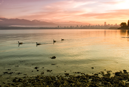 Canadian Geese of Vancouver