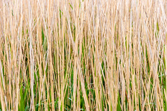 Reeds abstract