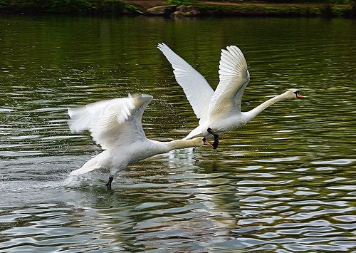 england water birds flying wings pair sony lancashire swans threesisters takeoff mute bryn wigan muteswan splashing a65 mygearandme mygearandmepremium mygearandmebronze mygearandmesilver mygearandmegold mygearandmeplatinum mygearandmediamond sonya65 slta65