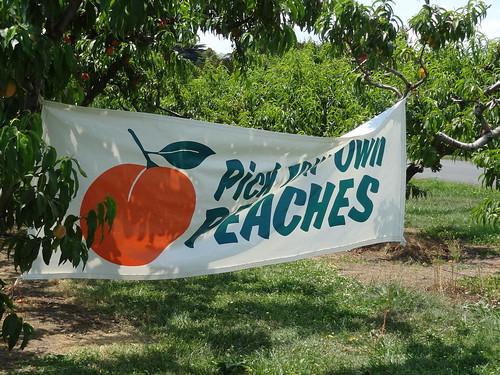 Peach Picking June 2012 (3)