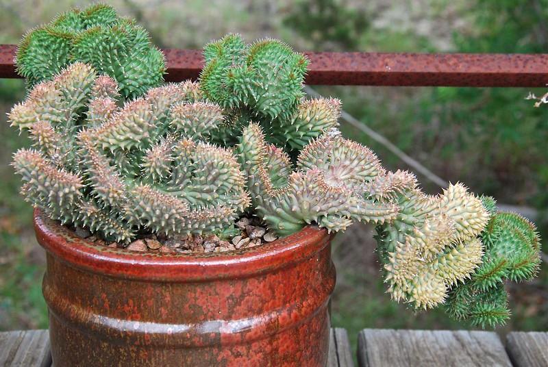 Luckhofia beukmanii