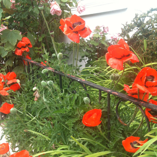 giant_poppies