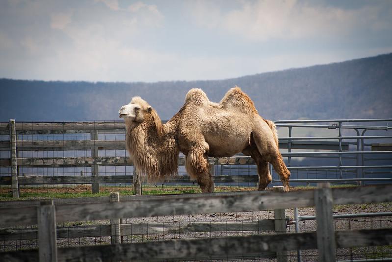 camelsten