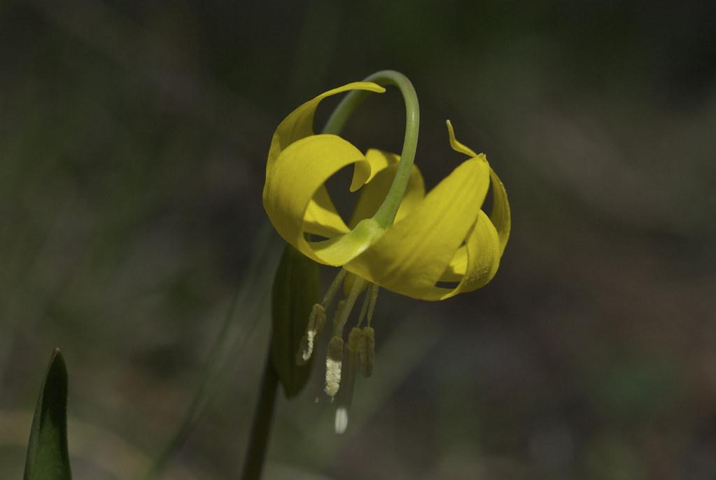 Glacier Lily; Dogtoothed Violet