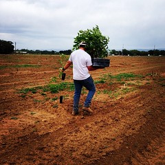 Planting a new 40 acre walnut orchard. #work #walnut #walnuts #ranch #trees #tagsforlikes #instagood #instamood #orchard #onlyonafarm #picoftheday #photooftheday #agpics #all_shots #agriculture #duarte #duartenursery #farm #farming #followme #farmpicsdail