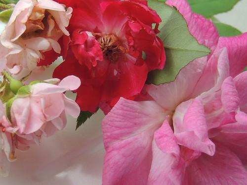 pink roses stilllife louisiana explore161may232016 thanksforyoursupportvisitscommentsandfaves
