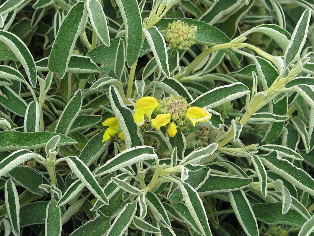 Phlomis angustifolia