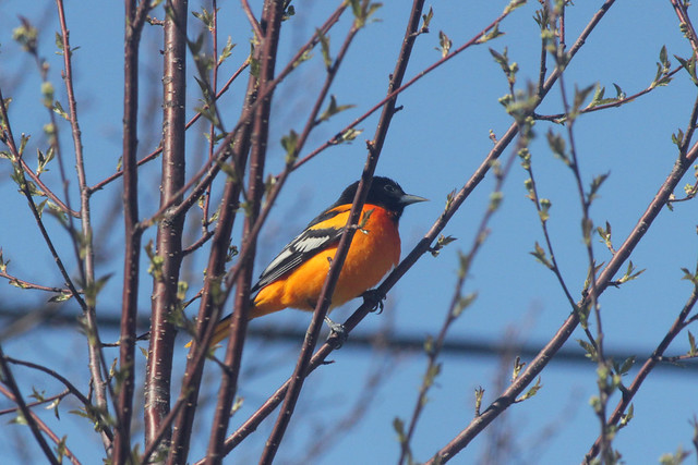 Baltimore Oriole in Pin Cherry