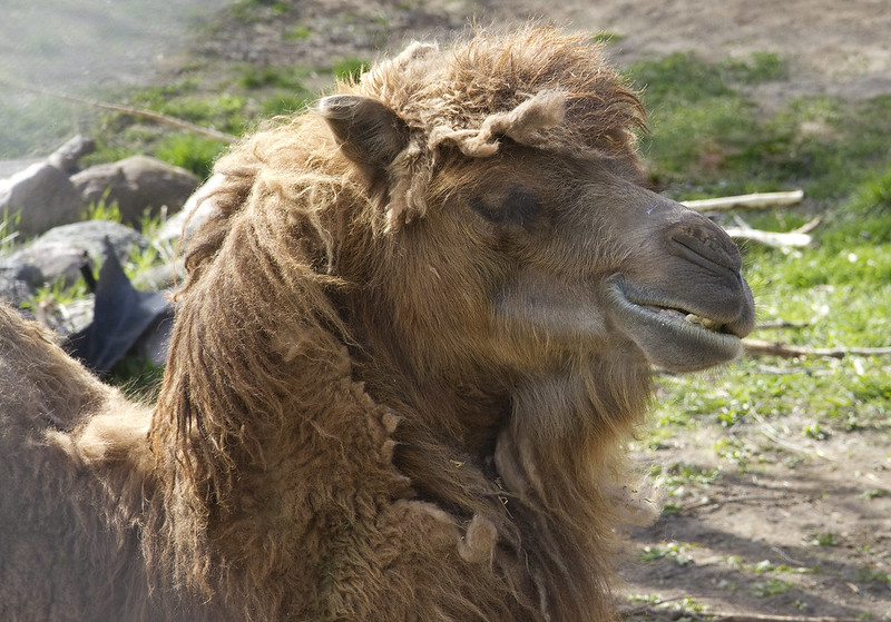 Bactrian Camel female smile