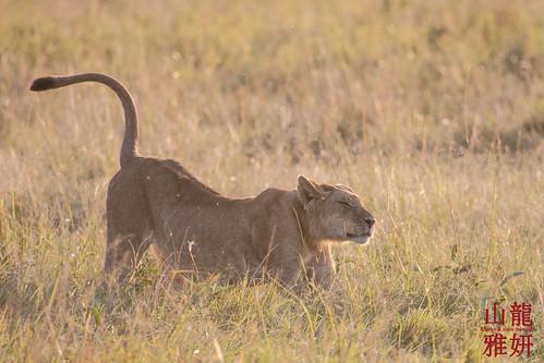 africa tanzania mammal lion safari pantheraleo serengetinationalpark shinyanga seroneraregion tzday02 africanwildcatsexpeditions