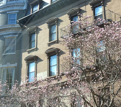 Magnolias in Boston's Back Bay by randubnick