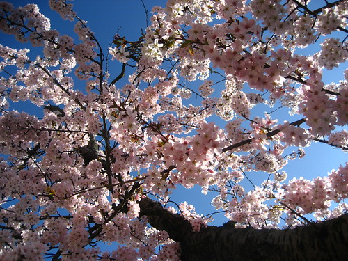 Cherry blossom in Leyton