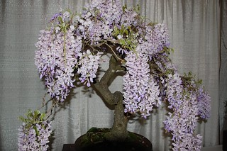 Bonsai wisteria never occurred to me. Nifty