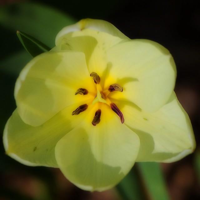 Cœur de tulipe jaune
