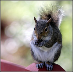 greedy squirrel