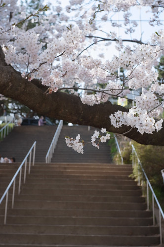 内野の桜 2012