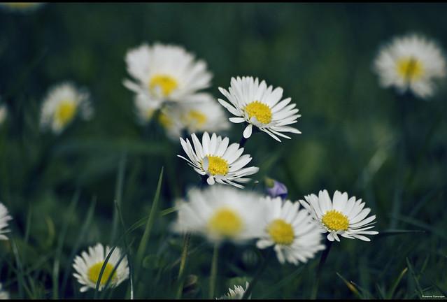 Yellow Headed White beauties