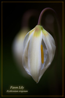 Fawn Lily about to open
