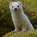 Just another stoat
