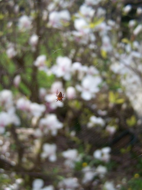 apr 185 Spider/magnolia