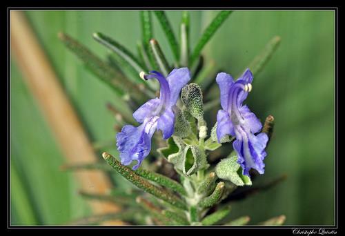 Fleurs de romarin (Rosmarinus officinalis)