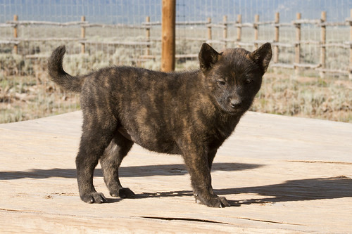 Haru-Third-Litter-Pup6-Female-Day49b