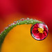 Dahlia dewdrop refraction #2