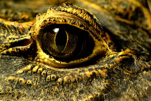 無料写真素材, 動物 , 爬虫類, 鰐・ワニ
