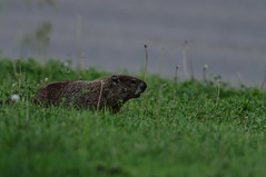 Muskrat_8736.jpg by Mully410 * Images
