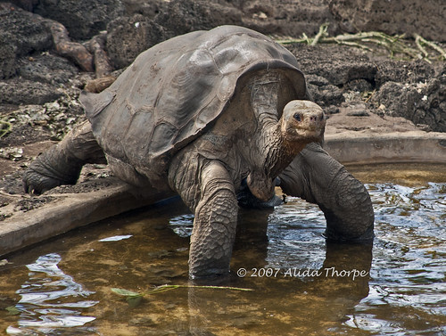 Lonesome George by Alida's Photos