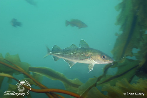 Cod at Cashes Ledge. Copyright Brian Skerry.