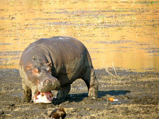 angry-hippo- in- africa