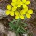 Sand Dune Wallflower - Photo (c) randomtruth, some rights reserved (CC BY-NC-SA)