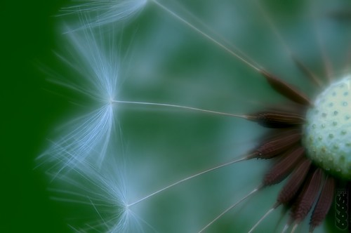 Dandelion on Green by fs999