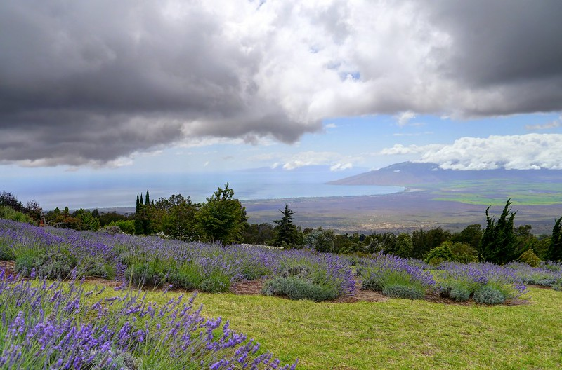 Scenes from the Kula Lavender Farm - SW Look