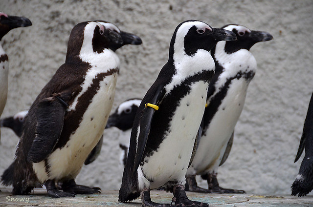 Cape Penguin