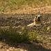 07-21-12: Prairie Dog