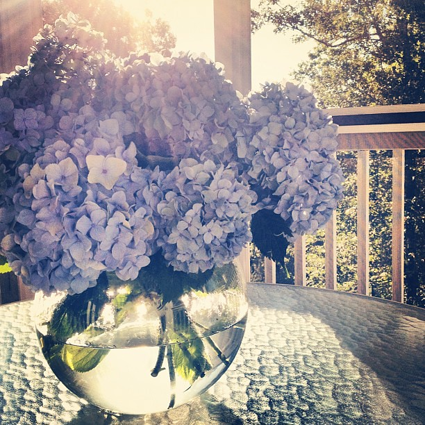 It's A Perfect Morning #flowers #hydrangea