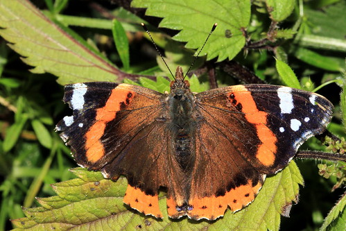Red Admiral 9927