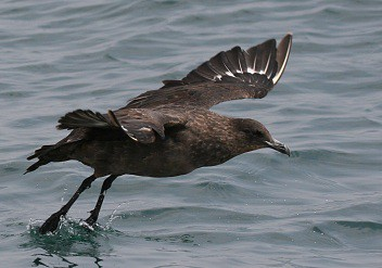 Chile skua Pelagic birding with Nature Expeditions in Peru 02
