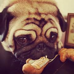 puppy love(0.0), animal(1.0), puppy(1.0), dog(1.0), pet(1.0), mammal(1.0), close-up(1.0), pug(1.0),