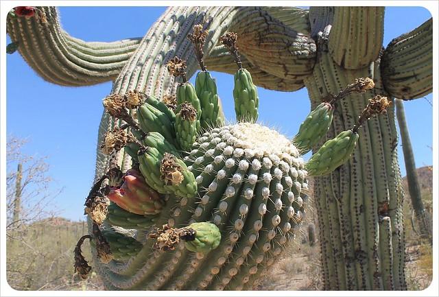 saguaro cactus arm
