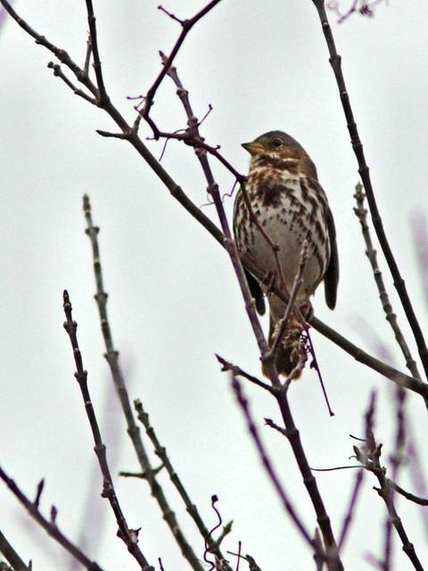 Fox Sparrow 2-20121103