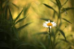 [フリー画像素材] 花・植物, ヒナギク・デイジー ID:201211100400