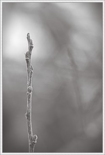 Willow Twig