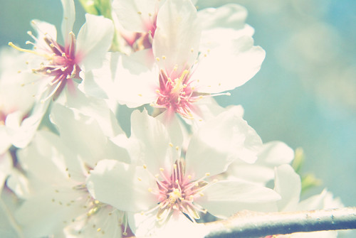 Almond flower in pastel retouch